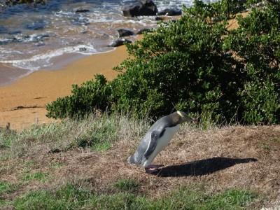 visas-vies-pingouins-nouvelle-zelande-3