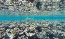 requin-fakarava-passe-sud-visasvies-reflet